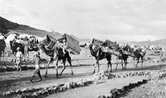 Ambulance Transport Animals: Dromedary camels fitted with cacolet panniers carry wounded men to safety on the North West Frontier of India 1917