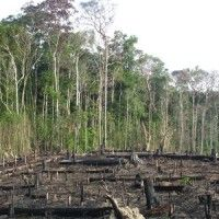 Palm oil producers are clearing rainforests to plant their oil palm trees, obliterating the homes of endangered animals