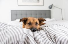 size: Photographic Print: Cute Fawn Colored Corgi Mix on Bed by Anna Hoychuk : Cheap Pet Insurance, Dog Insurance, Top Dog Breeds, Best Dog Breeds, Corgi Mix, Bed Puns, Fawn Colour, Pet Supplements, Golden Retriever