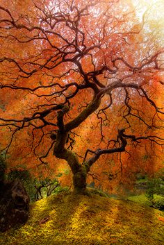 ~~Shades of Light | Japanese Maple, autumn at the Japanese Gardens, Portland | by Henrik Anker Bjerregaard Lundh III~~
