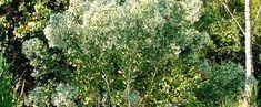 Baccharis halimifolia by trois