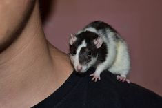 Believe it or not, rats are sociable, empathetic and affectionate pets. Cutest Animals On Earth, Animals And Pets, Cute Animals, Small Animals, Funny Animals, Rat Care, Cute Rats, Pets For Sale, Secret Life Of Pets