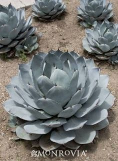 Artichoke Agave - Cactus & Succulents - Plant Library - Garden Center