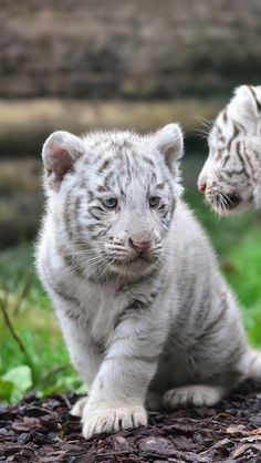 A White Bengal Tiger cub ~ can only be born when both parents carry an unusual gene for white coloring.