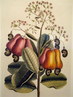 """Mark Catebsy botanical print of a cashew tree. From the book  """"The Natural History of Carolina, Florida and the Bahama Islands: Containing the Figures of Birds, Beasts, Fishes, Serpents, Insects and Plants."""""""