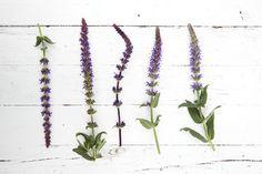 El blog de Los Peñotes: Plantas que no deben faltar en tu jardín: Salvias