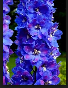 Blue Delphinium. How can you not love this?