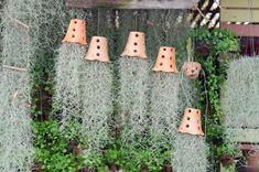 Tillandsia usneoides L. - A Barba de Velho Tillandsia Usneoides, Alien Plants, Air Plant Display, Air Plant Terrarium, Spanish Moss, Diy Garden Projects, Hanging Planters, Hanging Baskets, Water Plants
