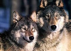 Image result for gray wolf
