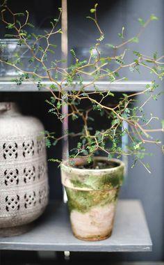 Dvärgkowhai I Sophora prostrata I Zetas Trädgård