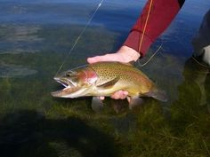 Are you up to the challenge of Hobson's Choice? Can you catch a Trout, Yellowfish & Black Bass all over in the same day? Flyfishing such an amazing sport - vistus & explore the Region - for more information see www. Somerset, Trout, Fly Fishing, Bass, Challenge, Explore, Amazing, Flat, Fly Tying