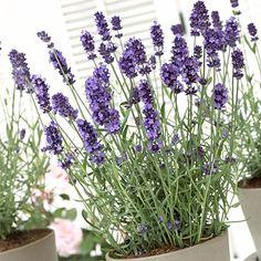 Lavender Hidcote, Lavandula angustifolia - Spring Perennials from American Meadows