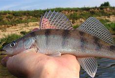 Fisch: Wolgazander (Sander volgensis) | Fischlexikon Photos Of Fish, Fish Art, Freshwater Fish, Types Of Fish, Fish