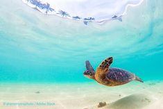 Poster, Tablou Endangered Hawaiian Green Sea Turtle cruises in the warm waters of the Pacific O Endangered Sea Turtles, Amazing Hd Wallpapers, Hawaiian Sea Turtle, North Shore Oahu, Ocean Wallpaper, Thing 1, Family Images, Best Places To Travel, Marine Life