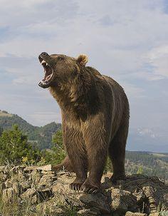 Bear roars for food by merigan on Flickr.Bear roars for food