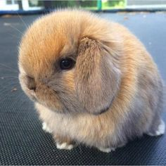 Find images and videos about cute, bunny and rabbit on We Heart It - the app to get lost in what you love. Cute Baby Bunnies, Cute Babies, Bunny Bunny, Fluffy Animals, Animals And Pets, Bunny Care, Cute Little Animals, Hamsters, Cute Creatures