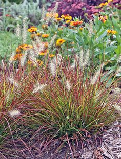 Monrovia's Burgundy Bunny Miniature Fountain Grass details and information. Learn more about Monrovia plants and best practices for best possible plant performance. Outdoor Garden Bench, Outdoor Gardens, Summer Flowers, Colorful Flowers, Dwarf Plants, Plant Zones, Fountain Grass, Monrovia Plants, Plant Catalogs