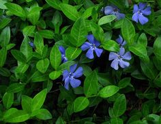Vinca Minor - Check out these 18 Flowering Ground Cover Plants, you'll find some best low growing plants on this list, they're not only easy to grow but looks beautiful too. Edging Plants, Border Plants, Sun Plants, Hardy Plants, Perennial Ground Cover, Ground Cover Plants, Invasive Plants, Drought Tolerant Plants, Low Maintenance Plants