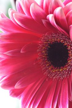 Gerbera Daisy - perfect for pretty pots on the deck or stairs just remember to over winter in home. All Flowers, Flowers Nature, Amazing Flowers, My Flower, Beautiful Flowers, Pink Gerbera, Gerbera Flower, Pink Daisy, Gerber Daisies