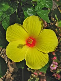 yellow hibiscus <3