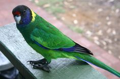 port lincoln parrot
