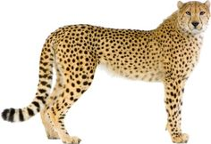 Safari Animals, Animals And Pets, Big Cat Species, Barbie Chelsea Doll, Pencil Drawings Of Animals, Wild Animals Photos, Clouded Leopard, Animal Art Prints, Cheetahs