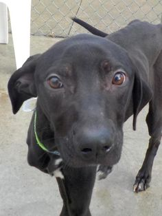 """Transferred to Humane Society - TITUS """"21 Titus"""" - URGENT - Stark County Dog Warden in Canyon, Ohio - ADOPT OR FOSTER - Young Male Lab Retriever Mix - Available January 24, 2017."""