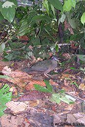 Sumatran ground-cuckoo