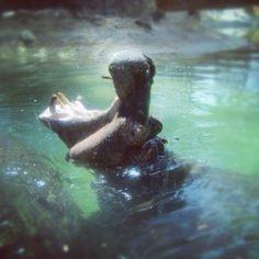 Honolulu Zoo hippo Honolulu Zoo, Hippopotamus, Hawaii, Fan, Spaces, Board, Animals, Animales, Animaux