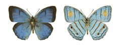 Las mariposas que despistaron a los expertos
