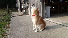 犬は吠えました。 Pet Dogs, Dogs And Puppies, Dog Cat, Pets, Cute Dogs Breeds, Dog Breeds, Animal Tracks, Cute Fox, Shiba Inu