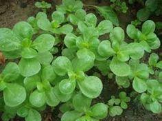 Semizotu demir ve C vitamini açısından adeta hazine olan bir bitki. Ayrıca semizotu Omega3 yağ asidini bol miktarda içerir.   Yazının Devamı: Semizotu Ne Kadar Faydalıymış! | Bitkiblog.com Follow us: @BİTKİ BLOG on Twitter | Bitkiblog on Facebook