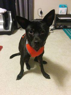 Formosan mountain dog#Kobe#modeling for harness leash