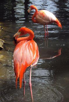 Chilean Flamingo, Pairi Daiza, Belgium, photo A. Kuckartz 22-05-2017 #chileanflamingo #flamingo