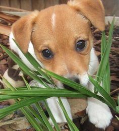 Jack Russell terrier trying to hide in its mini jungle. Hi liddle babyyy.