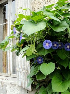 Morning Glories in Eymet...via My French Country Garden