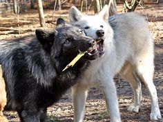 Wolves playing with a stick!