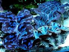 Image result for giant clam shell for sale