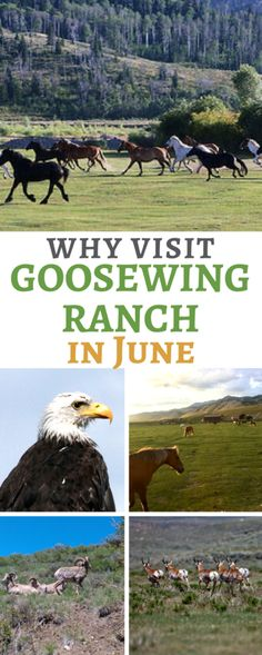 At the start of the summer season may be the best time to visit Goosewing Ranch. From discounted rates to wildlife sightings to smaller national park crowds, we chat best reasons to plan a Jackson Hole, Wyoming ranch vacation in June. Travel Icon, Asia Travel, Japan Travel, Travel Tips, Dude Ranch Vacations, Mountain Vacations, Dude Ranch Wyoming, Best Beach In Florida, All Inclusive Trips