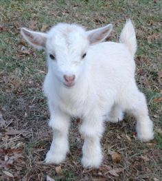 Adorable baby goat!!!