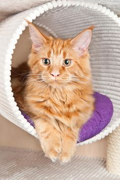 Our Maine Coon named Ginger (: