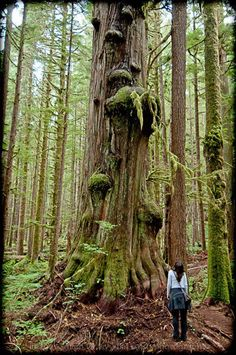 """""""Admiring one of the spectacular old-growth trees in Avatar Grove near Port Renfrew on Vancouver Island's West Coast."""" Photo submitted by Michael Levy. #explorebc"""