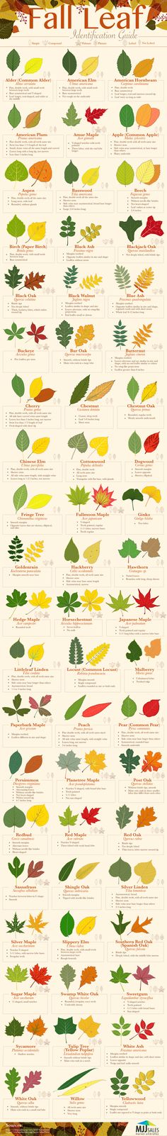 Fall Leaf Identification Guide #infographic #Gardening #Leaf