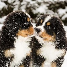 Eskimo Kisses...Bernese Mountain Pups