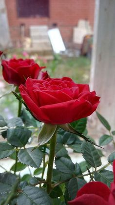 Backpulver zur Verjüngung der Rose - ВСЕ О РОЗАХ - Vegetable Garden, Garden Plants, House Plants, Amaryllis Bulbs, Growing Roses, Wonderful Flowers, Ornamental Plants, Small Farm, Rose Cottage