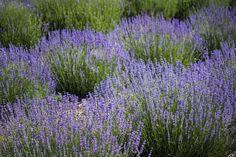 Cascade Lavender Farm, near Madras, in June, Oregon Black Magic Love Spells, Easy Love Spells, Lavender Flowers, Purple Flowers, Lavender Fields, Oregon Flower, Best Psychics, Plants Delivered, Evergreen Shrubs
