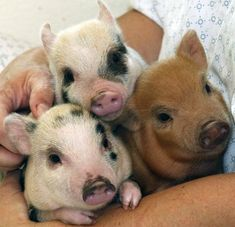 One Two Three Little Piglets!What's sweeter than baby pigs? Mini Juliana pigs are usually spotted and come in a variety of colors. Cute Baby Animals, Animals And Pets, Funny Animals, Farm Animals, Baby Pigs, Pet Pigs, Mundo Animal, My Animal, Teacup Pigs