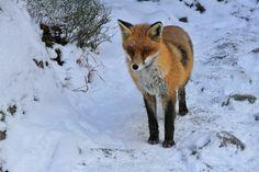 Fotka Nataše Viglaskej. Fox, Animals, Animales, Animaux, Animal, Animais, Foxes