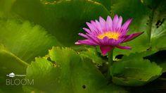 Bloom #bloom #lotus #pink #deepstudio www.deep.studio