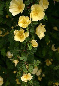 rosa hugonis   File:Rosa-hugonis-flowers.JPG - Wikipedia, the free encyclopedia